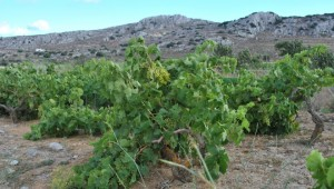 Windswept-vines-at-Ziros-in-Crete (1)