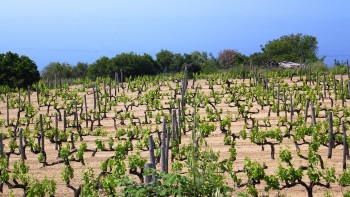 fond_de_pages_halkidiki_vineyard