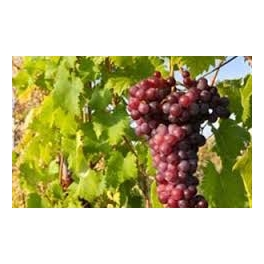sideritis-rose-tablevine-grape-variety-georgikosoikos